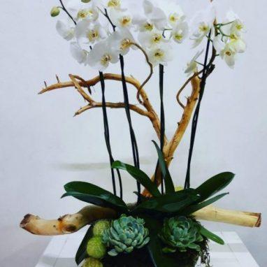 Arreglo con 2 orquideas dobles y suculentas